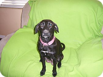 Labrador Retriever Mix Dog for adoption in Largo, Florida - Mali