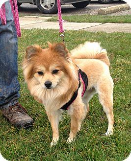 Pomeranian Mix Dog for adoption in South Haven, Michigan - Ella
