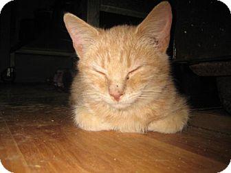 Domestic Mediumhair Kitten for adoption in Hilham, Tennessee - Orange Julius