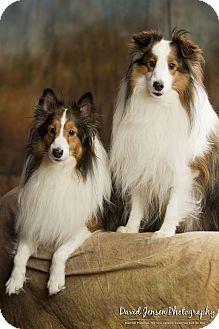 Sheltie, Shetland Sheepdog Mix Dog for adoption in Anchorage, Alaska - Rascal