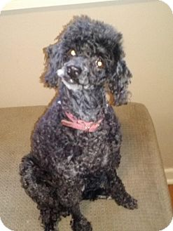 Miniature Poodle Dog for adoption in Cleveland, Ohio - thelma