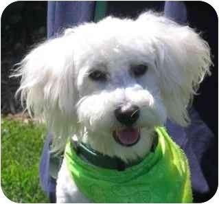 Bichon Frise Puppy for adoption in La Costa, California - Da Vinci
