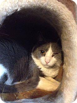 Domestic Shorthair Cat for adoption in Covington, Kentucky - Ekahi