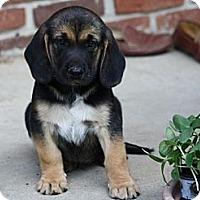 Adopt A Pet :: Tony - Glastonbury, CT