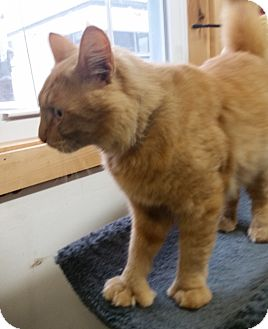 Domestic Mediumhair Cat for adoption in Franklin, New Hampshire - Charlie