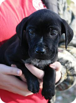 Pointer/English Pointer Mix Puppy for adoption in Starkville, Mississippi - Grant