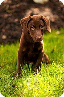 Labrador Retriever Mix Puppy for adoption in Chalfont, Pennsylvania - Buttons