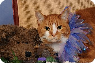 Domestic Shorthair Cat for adoption in mishawaka, Indiana - Maggie