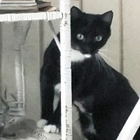 Domestic Shorthair Cat for adoption in Palatine, Illinois - Lucy