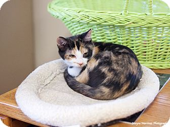 Calico Kitten for adoption in Chattanooga, Tennessee - Louise