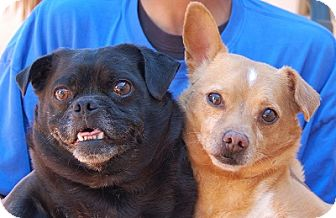 Pug Mix Dog for adoption in Las Vegas, Nevada - Bert