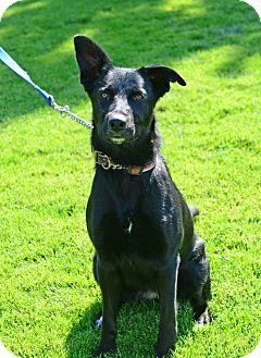 Border Collie/Labrador Retriever Mix Dog for adoption in Gardnerville, Nevada - Hazel