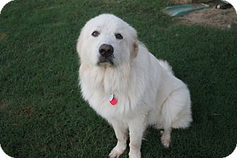 Great Pyrenees Dog for adoption in Tulsa, Oklahoma - Tundra  *Adopted
