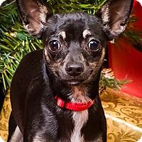 Adopt A Pet :: Soxy - Owensboro, KY