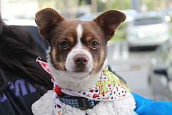 Chihuahua Dog for adoption in Redondo Beach, California - Mighty Mouse-ADOPT Me!