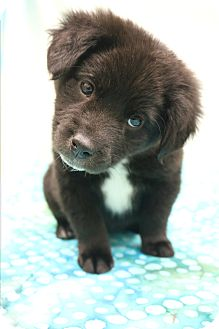 Labrador Retriever/Border Collie Mix Puppy for adoption in Southington, Connecticut - Mattie