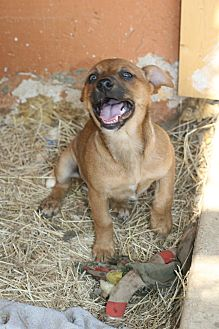 Jack Russell Terrier Mix Puppy for adoption in Seguin, Texas - Shannon