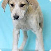 Adopt A Pet :: Darell - Waldorf, MD