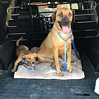 Black Mouth Cur Mix Dog for adoption in Eugene, Oregon - Mimi&Bucky