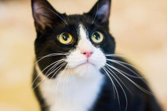 Domestic Shorthair/Domestic Shorthair Mix Cat for adoption in Gainesville, Florida - Eileen