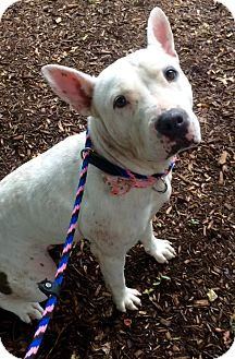 Terrier (Unknown Type, Medium) Mix Dog for adoption in East Hartford, Connecticut - Souiee in CT