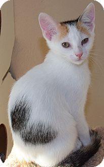 Calico Kitten for adoption in Flower Mound, Texas - Fedora
