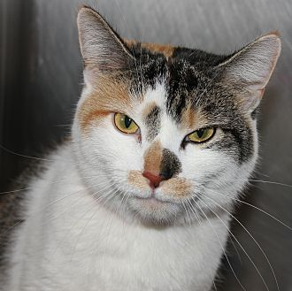 Calico Cat for adoption in Clayton, New Jersey - GLORIA