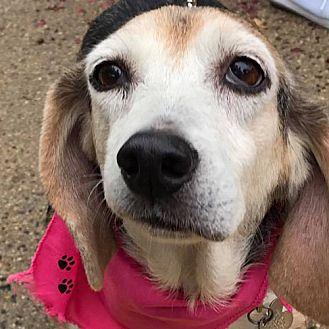 Beagle Dog for adoption in Fairfax, Virginia - Gypsy *Adopt*