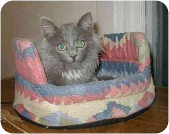Domestic Longhair Kitten for adoption in Laurel, Maryland - Smitty