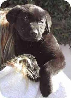 Retriever (Unknown Type) Puppy for adoption in El Segundo, California - Hannah