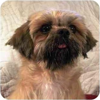 Shih Tzu Dog for adoption in PRINCETON, New Jersey - ROSIE