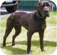Cane Corso Dog for adoption in Oswego, Illinois - DELILAH