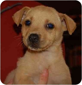 Labrador Retriever/Australian Cattle Dog Mix Puppy for adoption in Chula Vista, California - Jolie