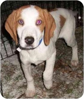 Beagle/Australian Shepherd Mix Puppy for adoption in Hammonton, New Jersey - Carson