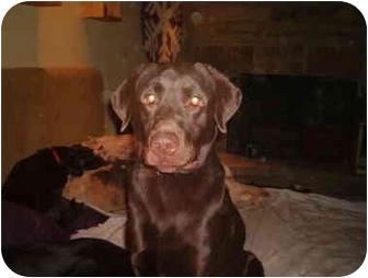 Labrador Retriever Dog for adoption in North Jackson, Ohio - Walnut
