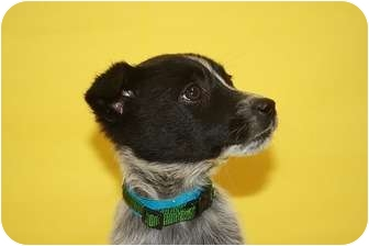 Australian Cattle Dog/Australian Cattle Dog Mix Puppy for adoption in Broomfield, Colorado - Liberty