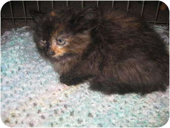 Maine Coon Kitten for adoption in Randolph, New Jersey - Bindy