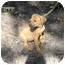 Photo 1 - Labrador Retriever Mix Puppy for adoption in Weeki Wachee, Florida - Dinky