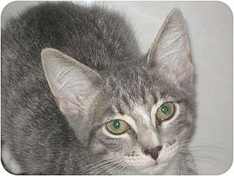 Domestic Shorthair Cat for adoption in Jacksonville, North Carolina - Rose
