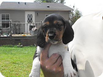 Beagle/Basset Hound Mix Puppy for adoption in Wilminton, Delaware - Luke
