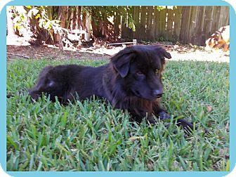 Flat-Coated Retriever/Labrador Retriever Mix Dog for adoption in hollywood, Florida - Ranger