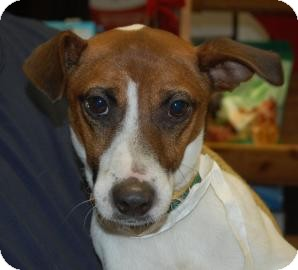 Jack Russell Terrier Mix Dog for adoption in Brooklyn, New York - James