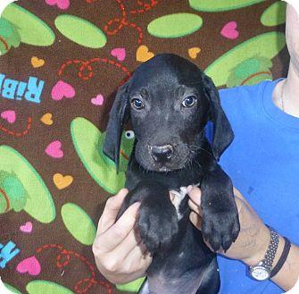 Coonhound/Labrador Retriever Mix Puppy for adoption in Oviedo, Florida - Toby