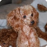 Adopt A Pet :: Red Dreamer - New Milford, CT
