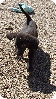Cocker Spaniel Mix Puppy for adoption in Kalamazoo, Michigan - Comet