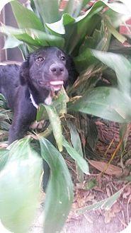 Australian Shepherd Mix Dog for adoption in Oakdale, Louisiana - Breeze