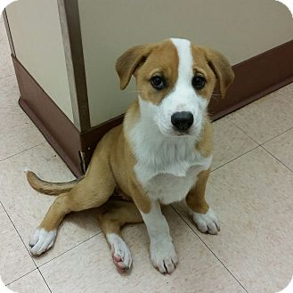Collie/Retriever (Unknown Type) Mix Puppy for adoption in Los Angeles, California - Babe