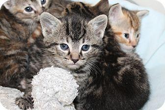 Domestic Shorthair Kitten for adoption in Naperville, Illinois - Hollis - Adoption Pending