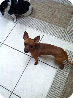 Dachshund/Chihuahua Mix Dog for adoption in Las Vegas, Nevada - Hamilton