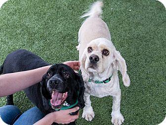 Cocker Spaniel Dog for adoption in Ogden, Utah - Benji and Bess